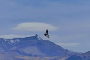 Condor - blue