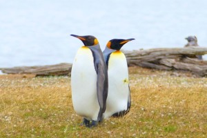 Emperor penguin visitors...there were only 3 on this island